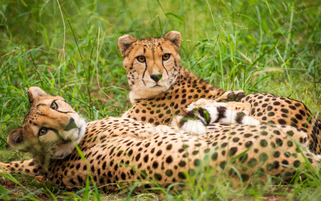 Cheetah conservation centre crowdfunds for support